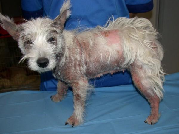 Dermatologia del Cane