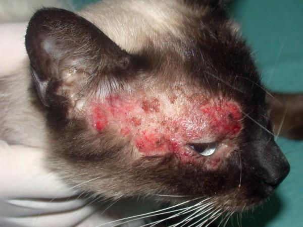 Dermatologia del Gatto