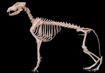scheletro_cane