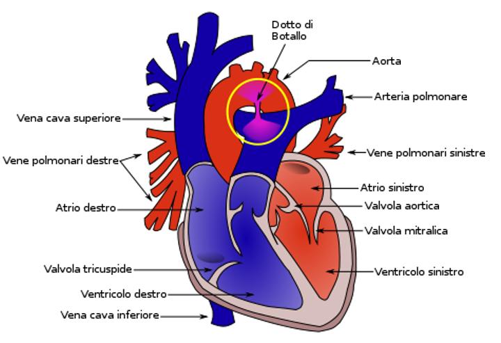Il Dotto Arterioso di Botallo | Clinica Veterinaria Futuravet | Tolentino